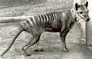 Old Thylacine (song)