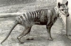Old Thylacine (song)